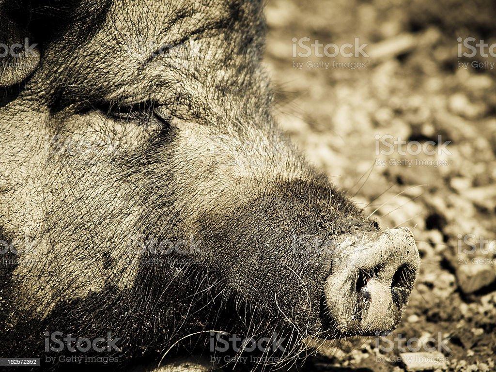 pig nozzle, detail stock photo