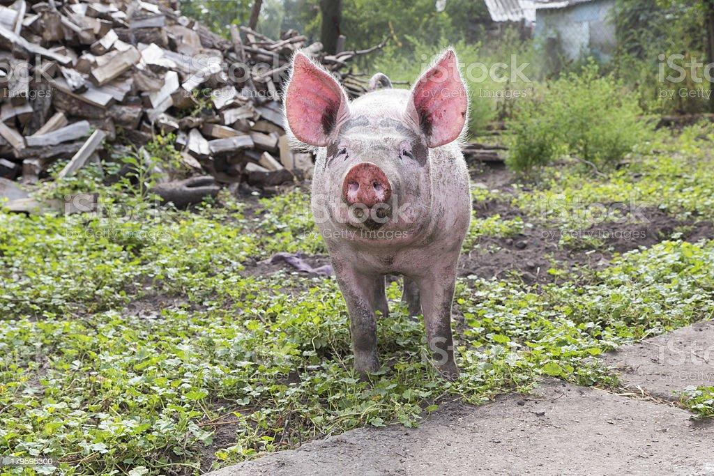 pig on a farm royalty-free stock photo