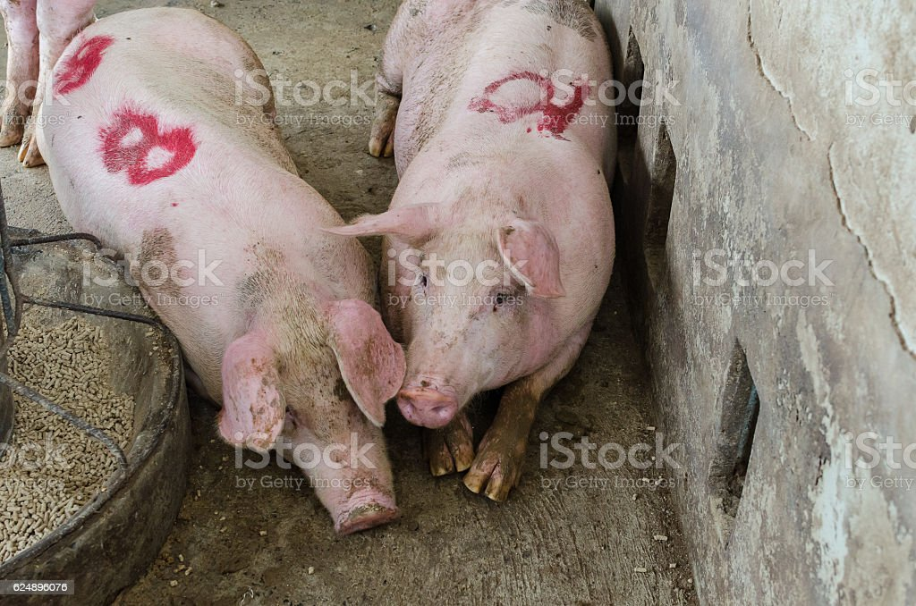 Pig on a farm. stock photo