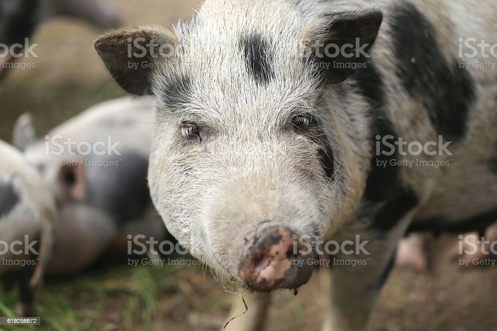 pig on farm, free - close-up, on the farm stock photo