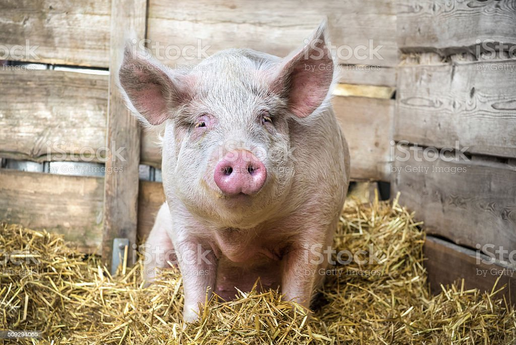Pig on hay and straw stock photo
