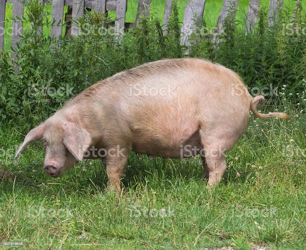 pig on the grass stock photo