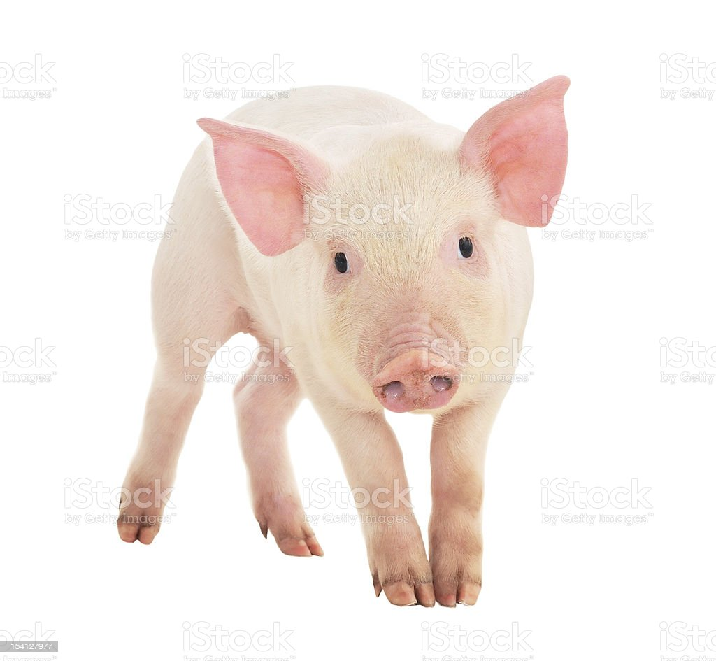 Pig on white royalty-free stock photo