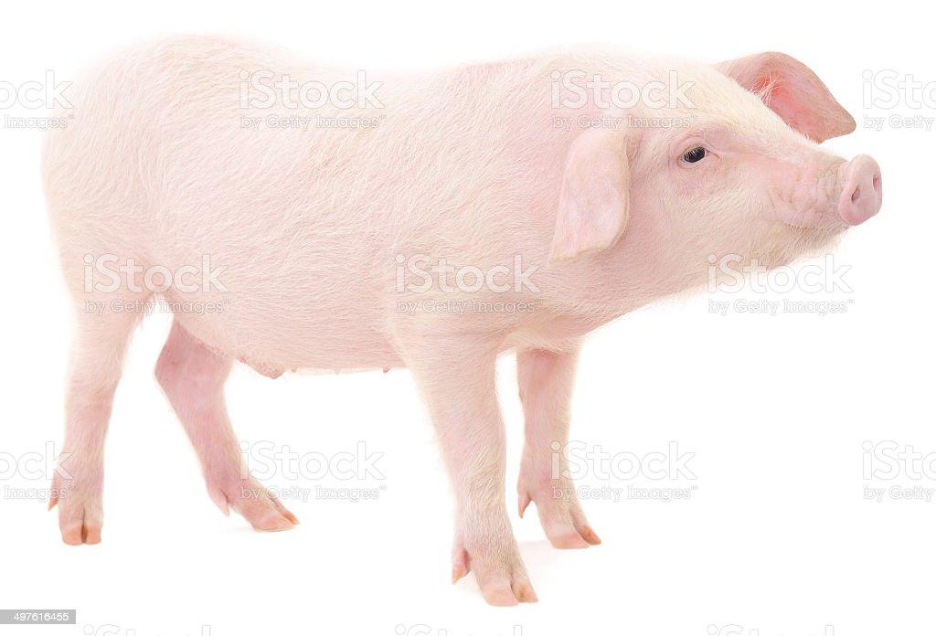 Pig on white royalty-free stock photo