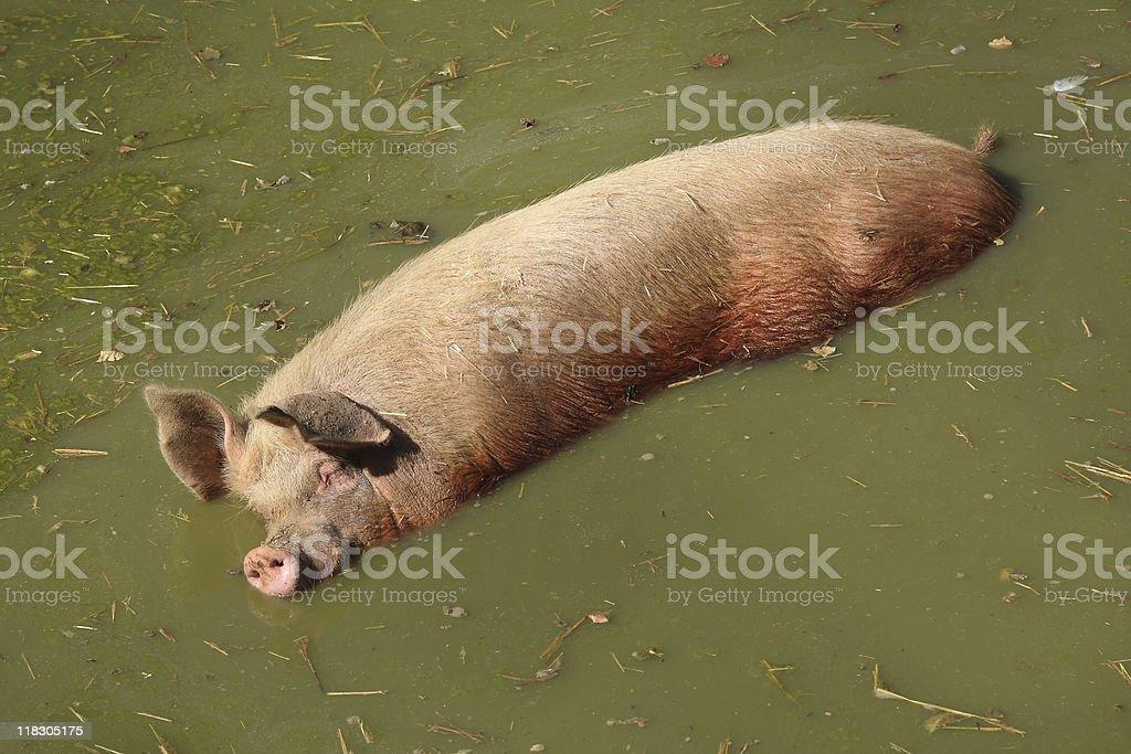 Pig royalty-free stock photo