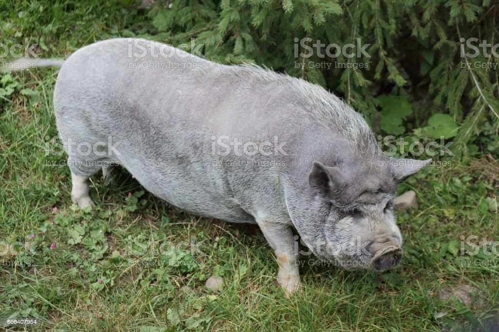 Pig. stock photo