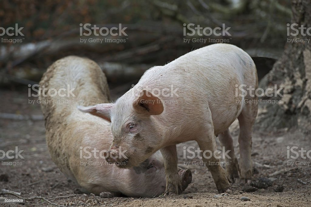 Pig Play stock photo