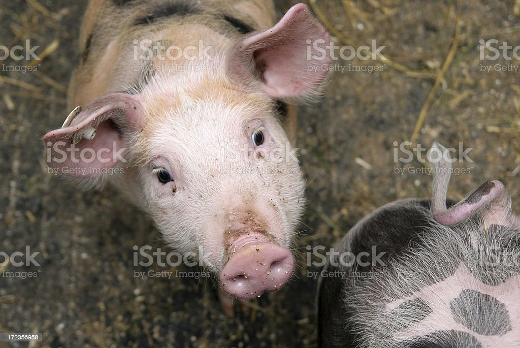 Pig portrait royalty-free stock photo