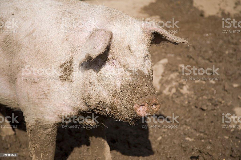 Pig Portrait stock photo