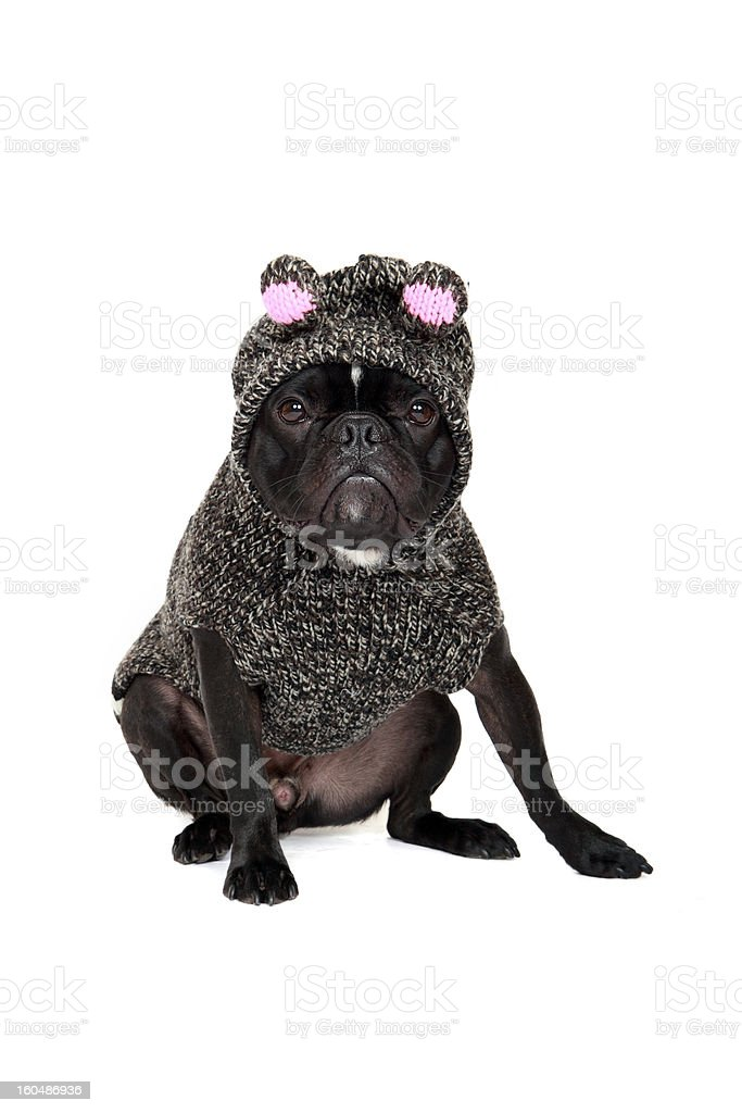 Pig Puppy royalty-free stock photo