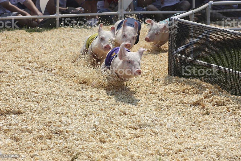 Pig Race at County Fair royalty-free stock photo