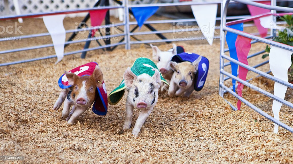 Pig Race royalty-free stock photo