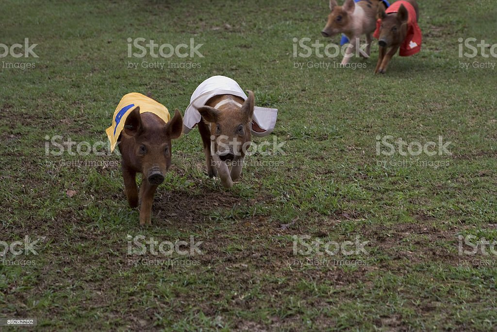 Pig race stock photo