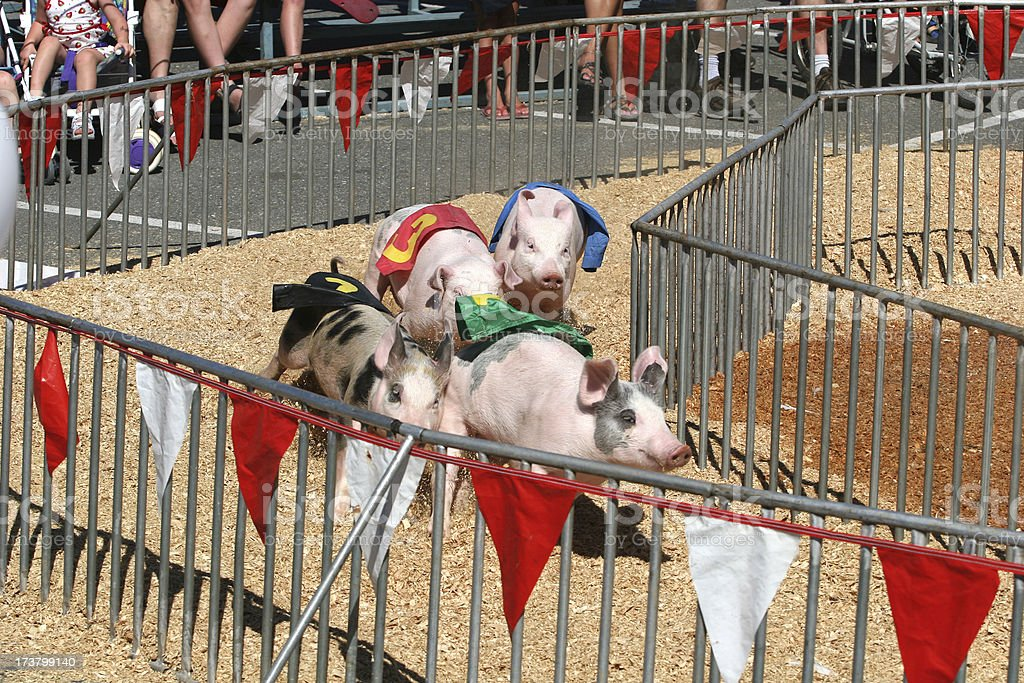 Pig races at the fair stock photo