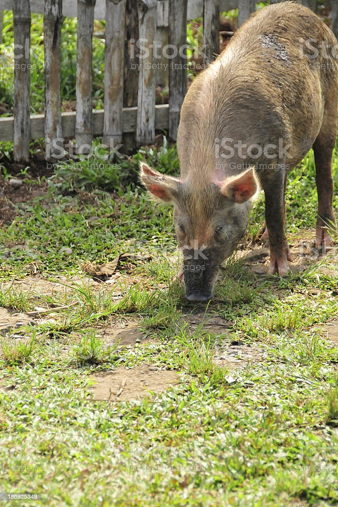 pig roaming the streets royalty-free stock photo
