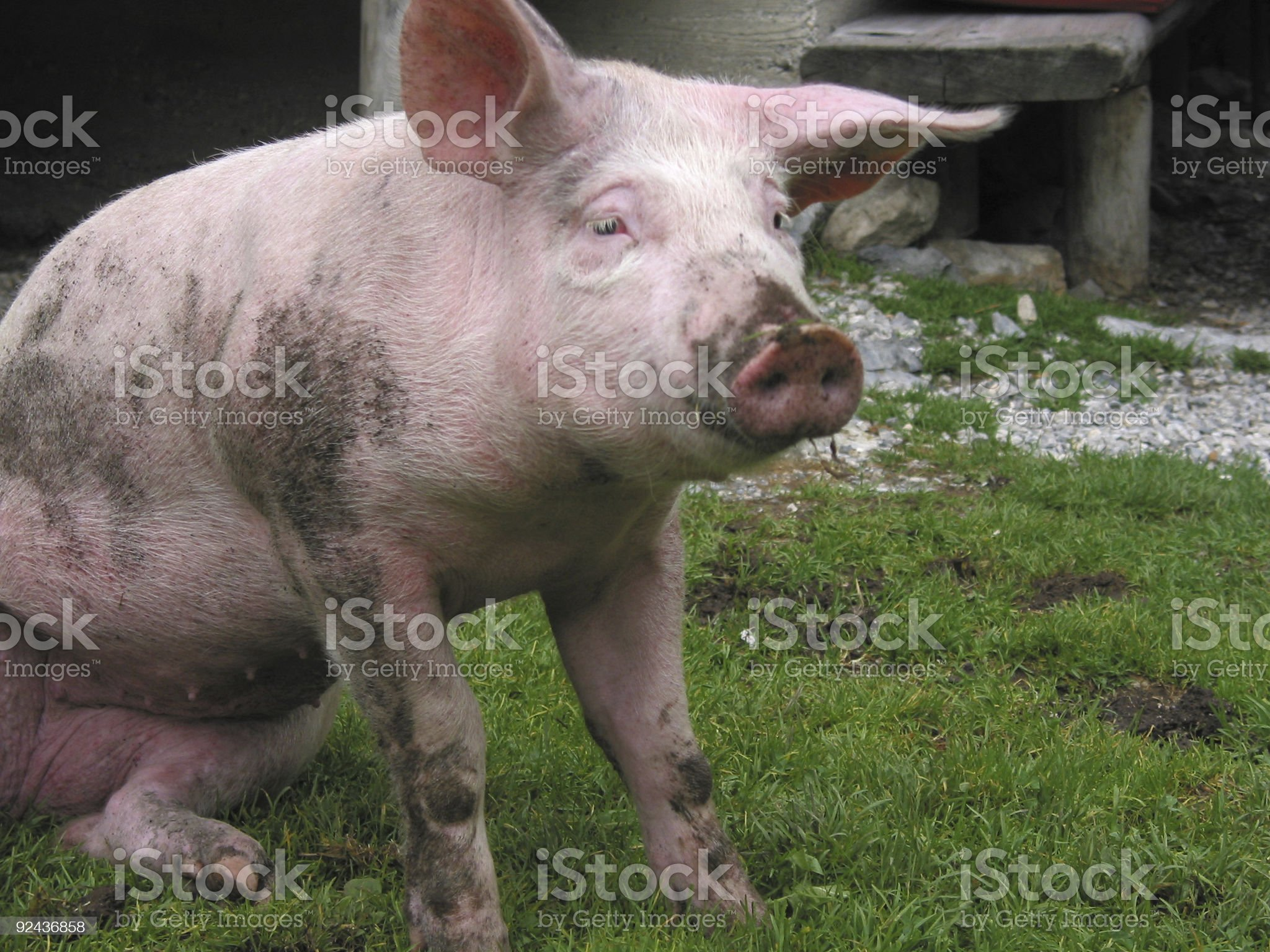 pig settling down royalty-free stock photo