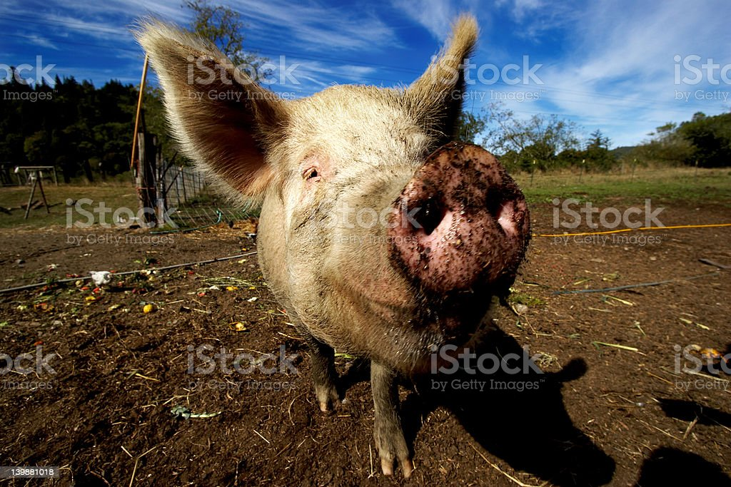 Pig smile close up stock photo