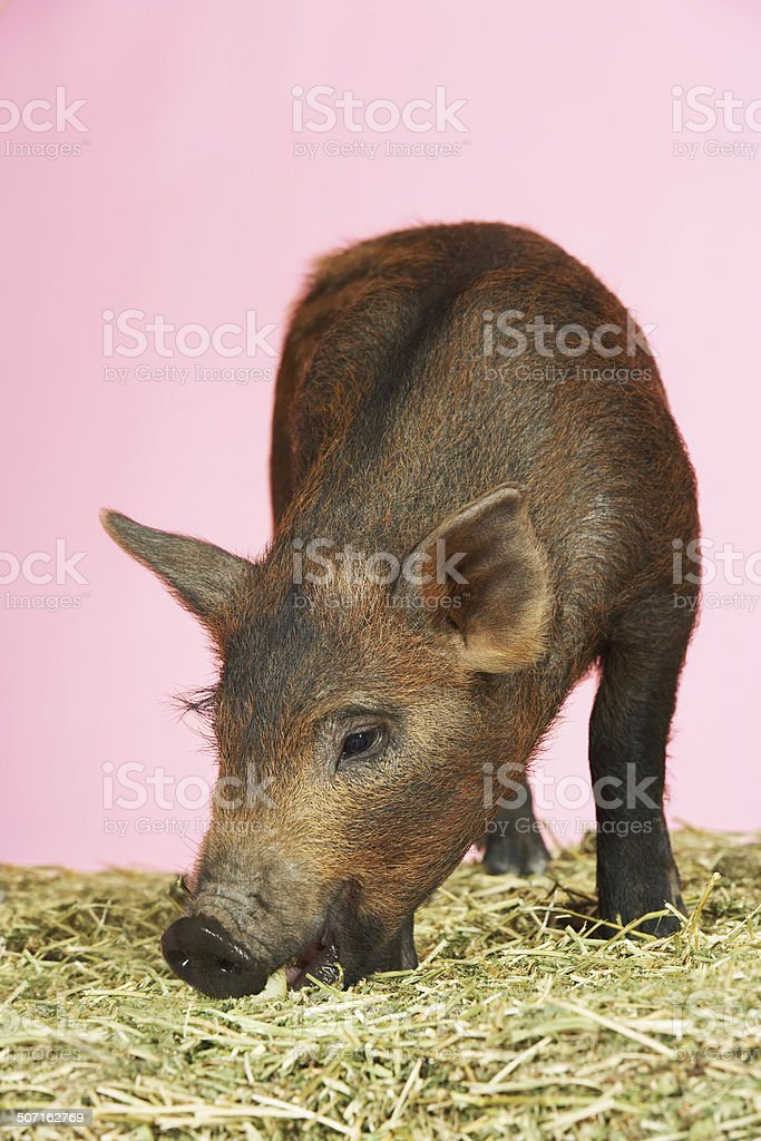 Pig Sniffing Food On Hay stock photo