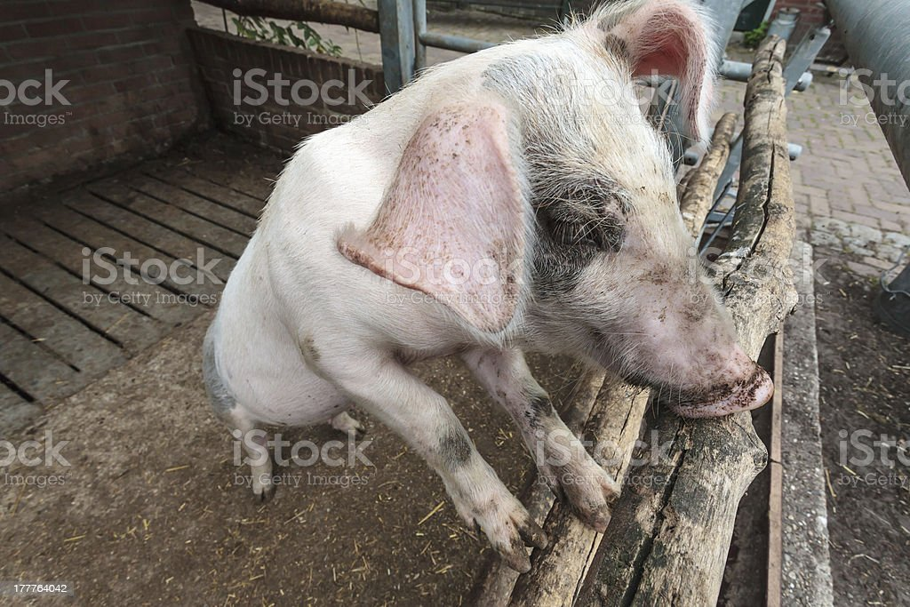 Pig standing in stable royalty-free stock photo