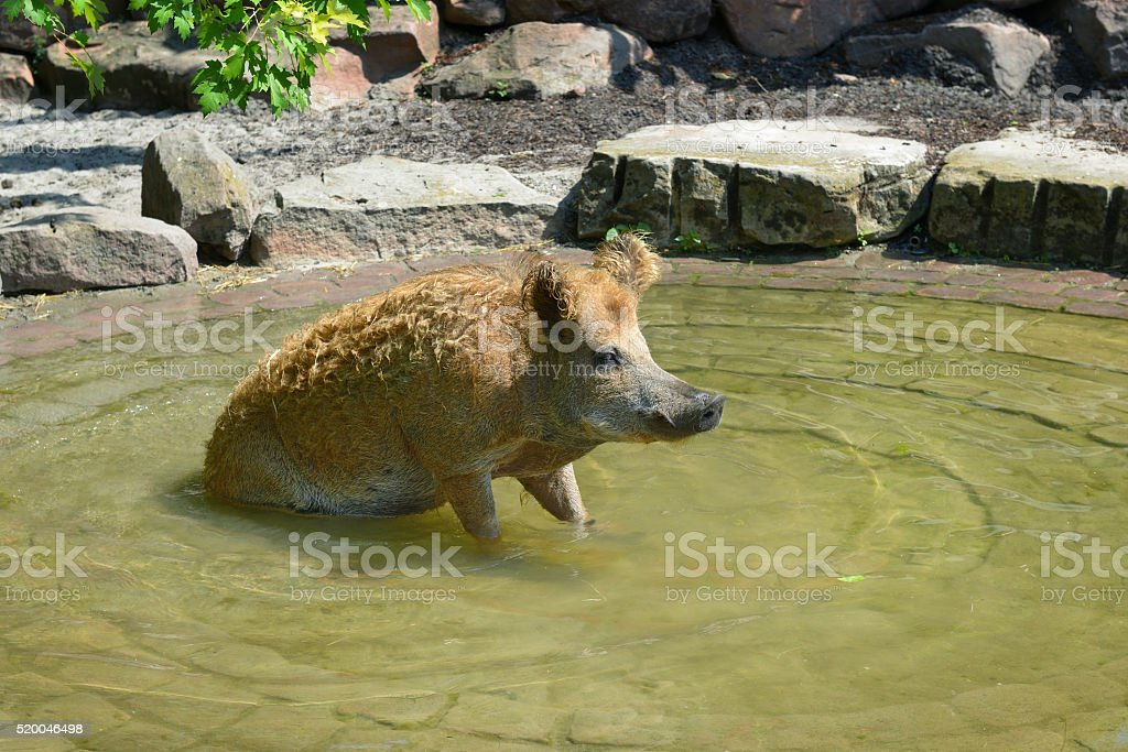 Pig swim in the pool stock photo