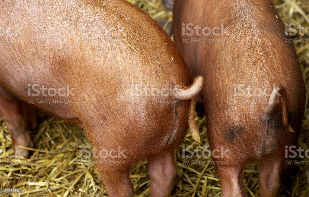 pig tails royalty-free stock photo