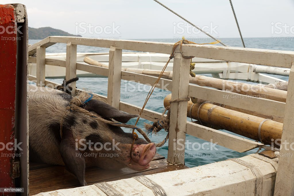 Pig transport on a boat between the islands stock photo
