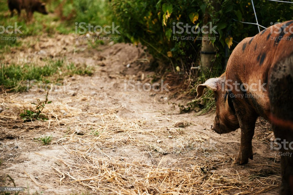 Pig walking away on a path stock photo