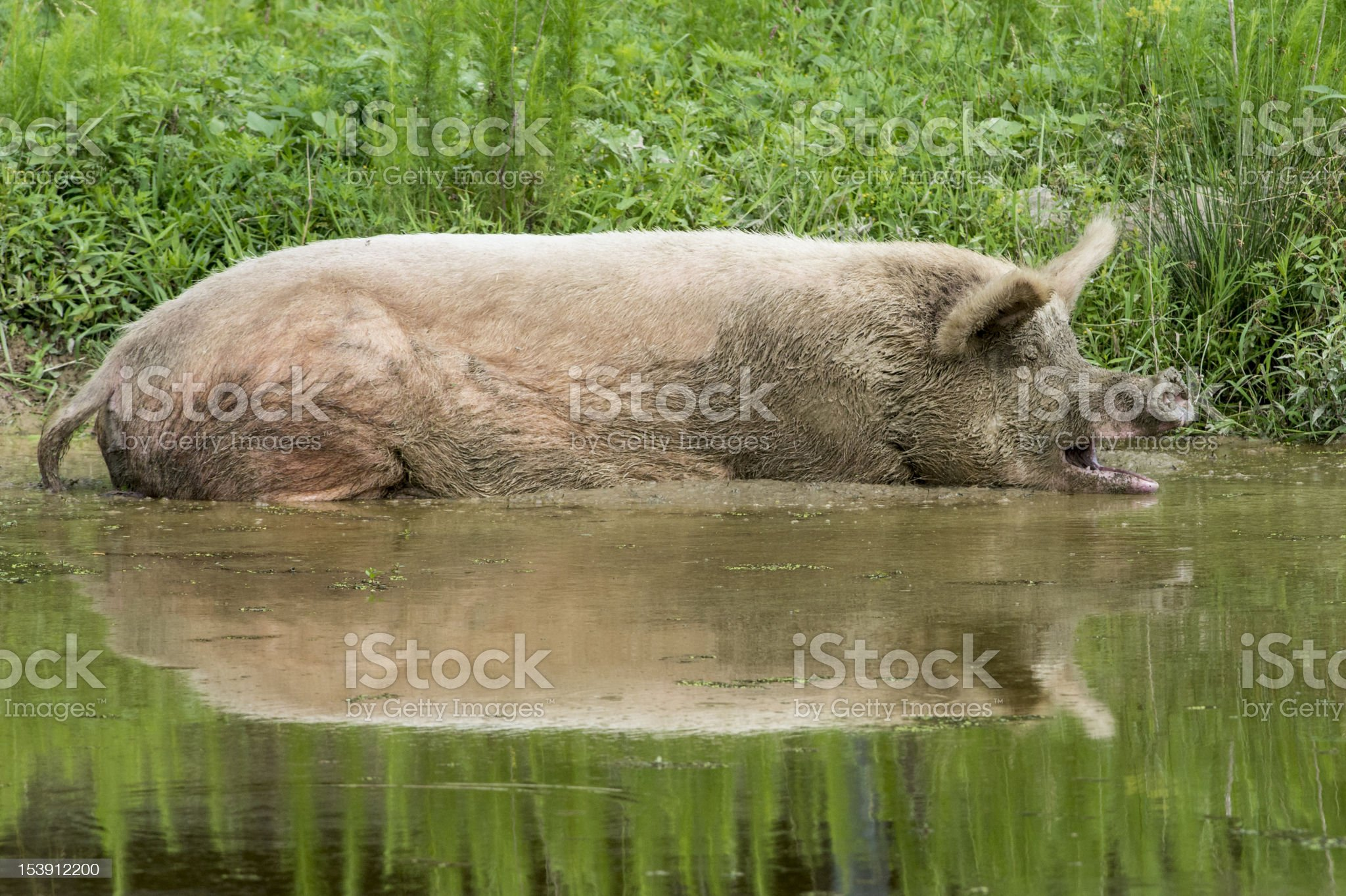 Pig wallowing in muddy water royalty-free stock photo