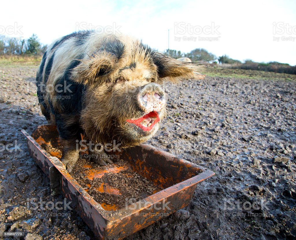 pig with lipstick stock photo