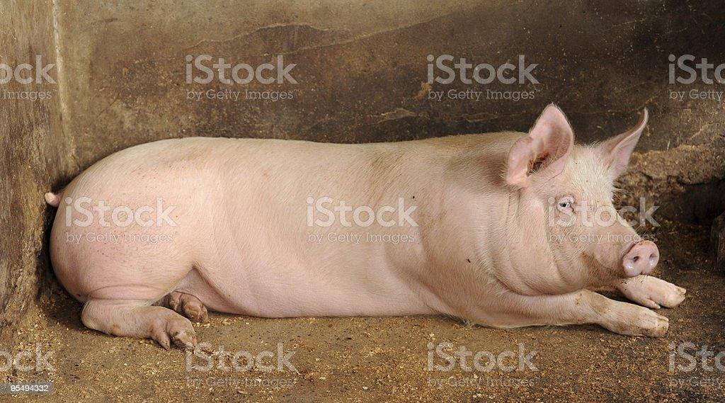 Pig XXL royalty-free stock photo