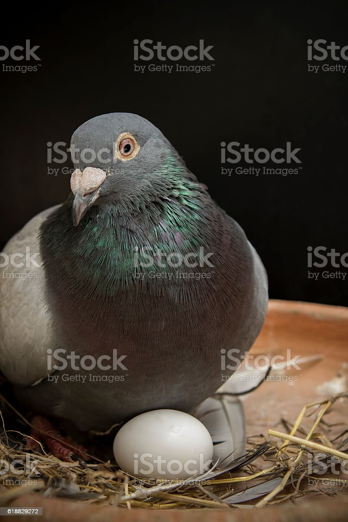 pigeion bird hatching egg in home loft stock photo
