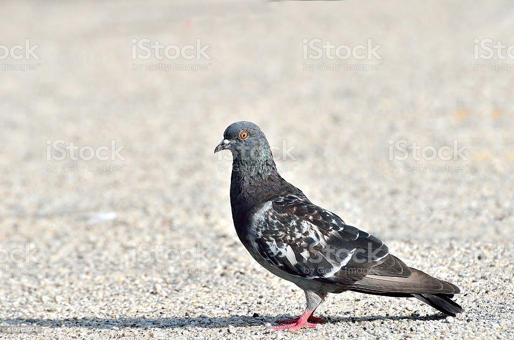 Pigeon and dove stock photo