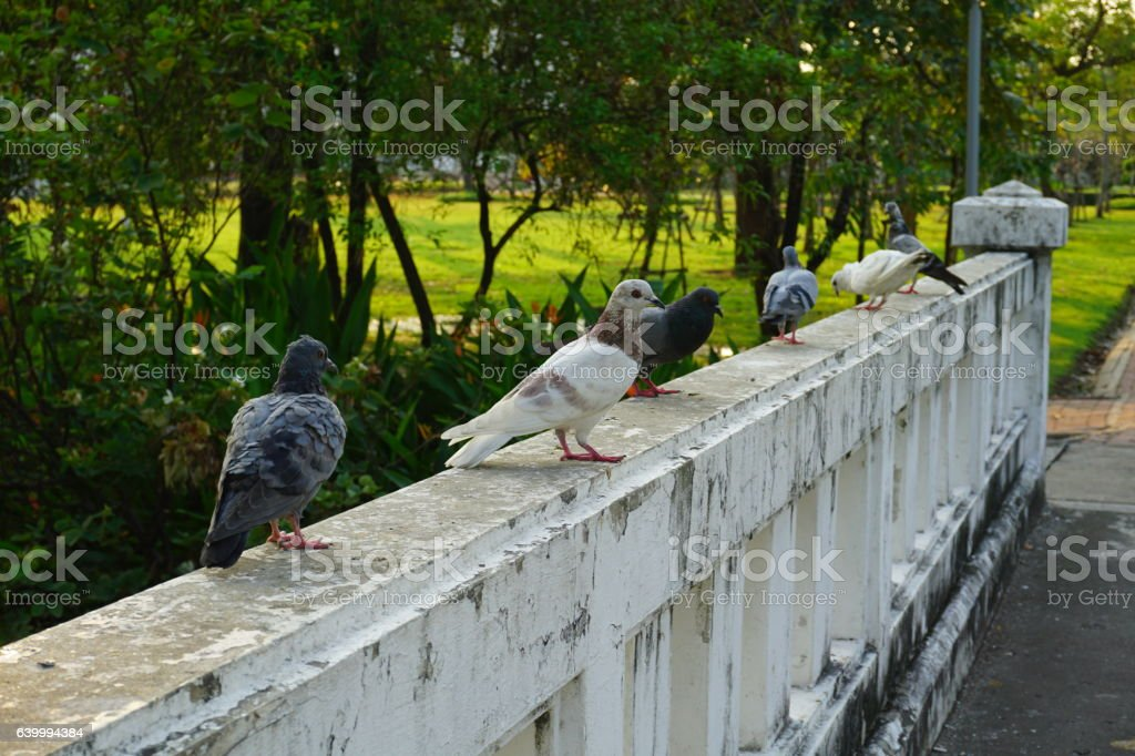 Pigeon and dove stock photo