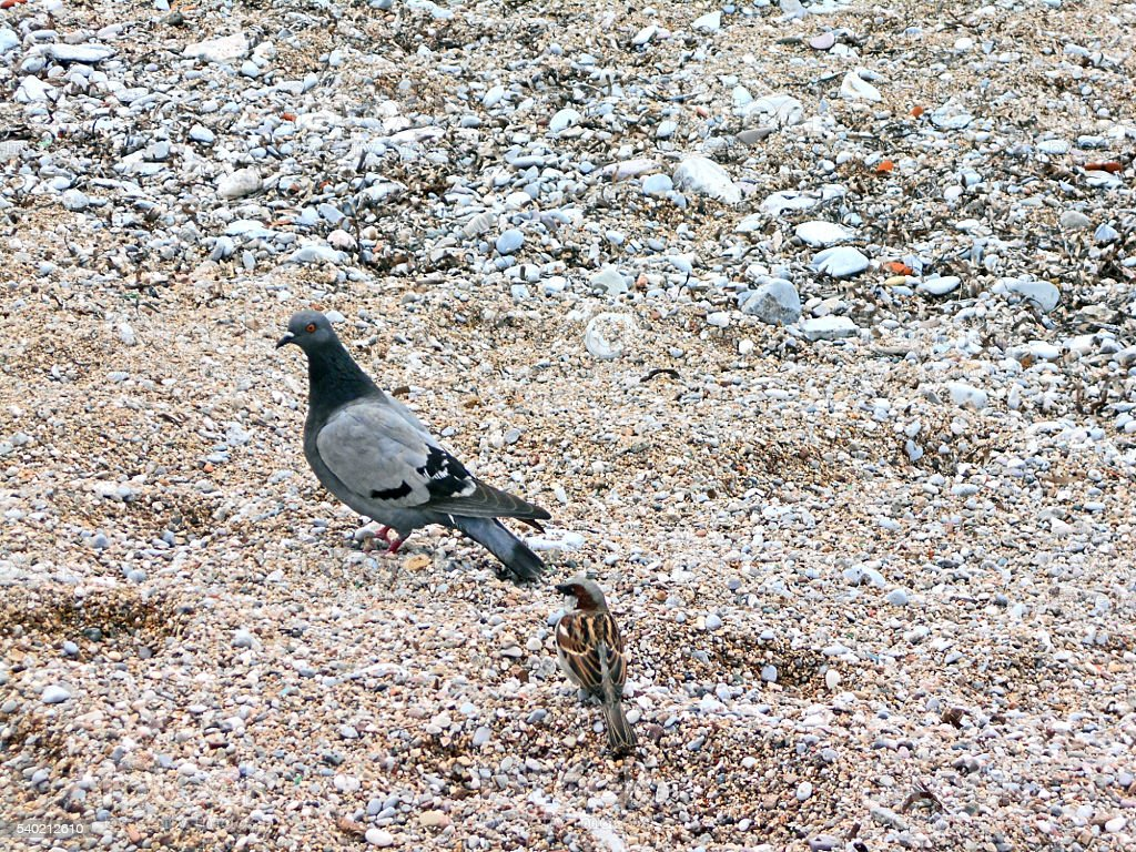 Pigeon and sparrow on the sand stock photo