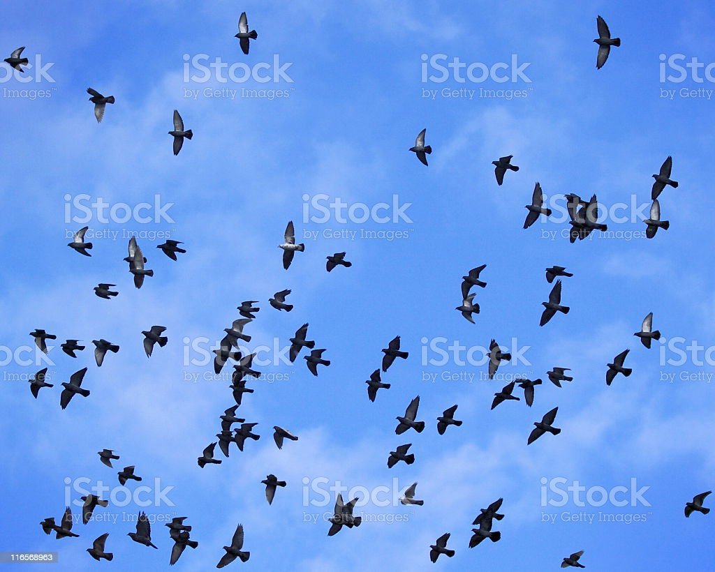 Pigeon Bird Flock Migration Flight