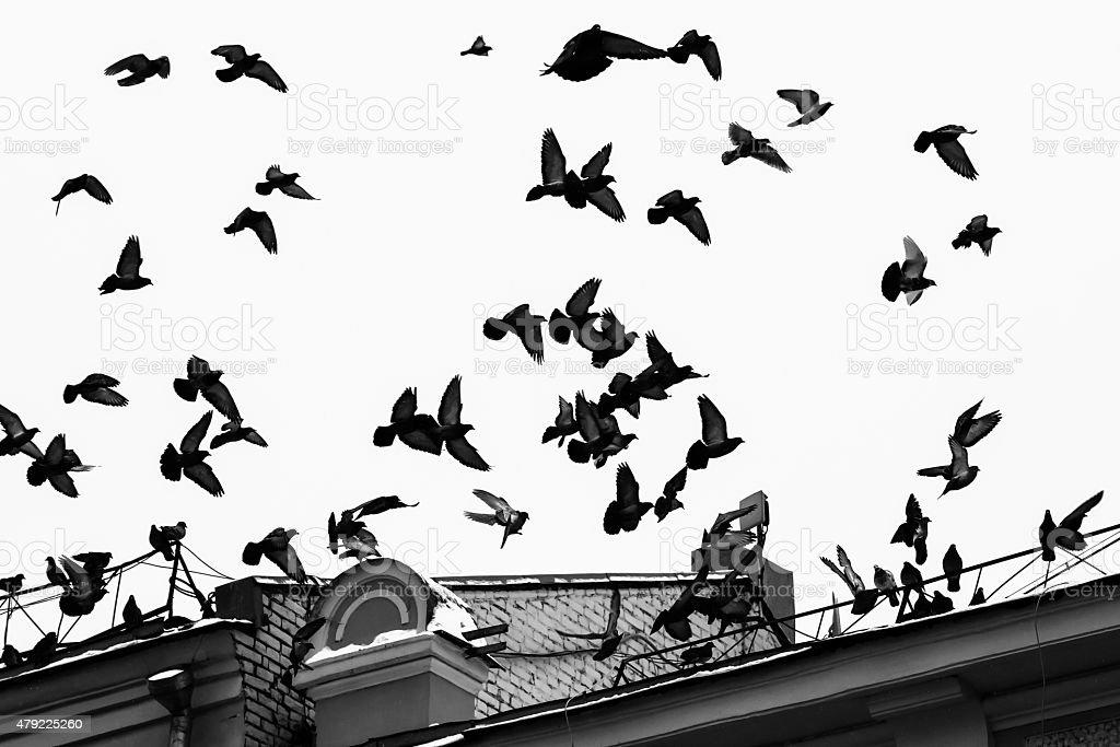 Pigeon birds in flight stock photo