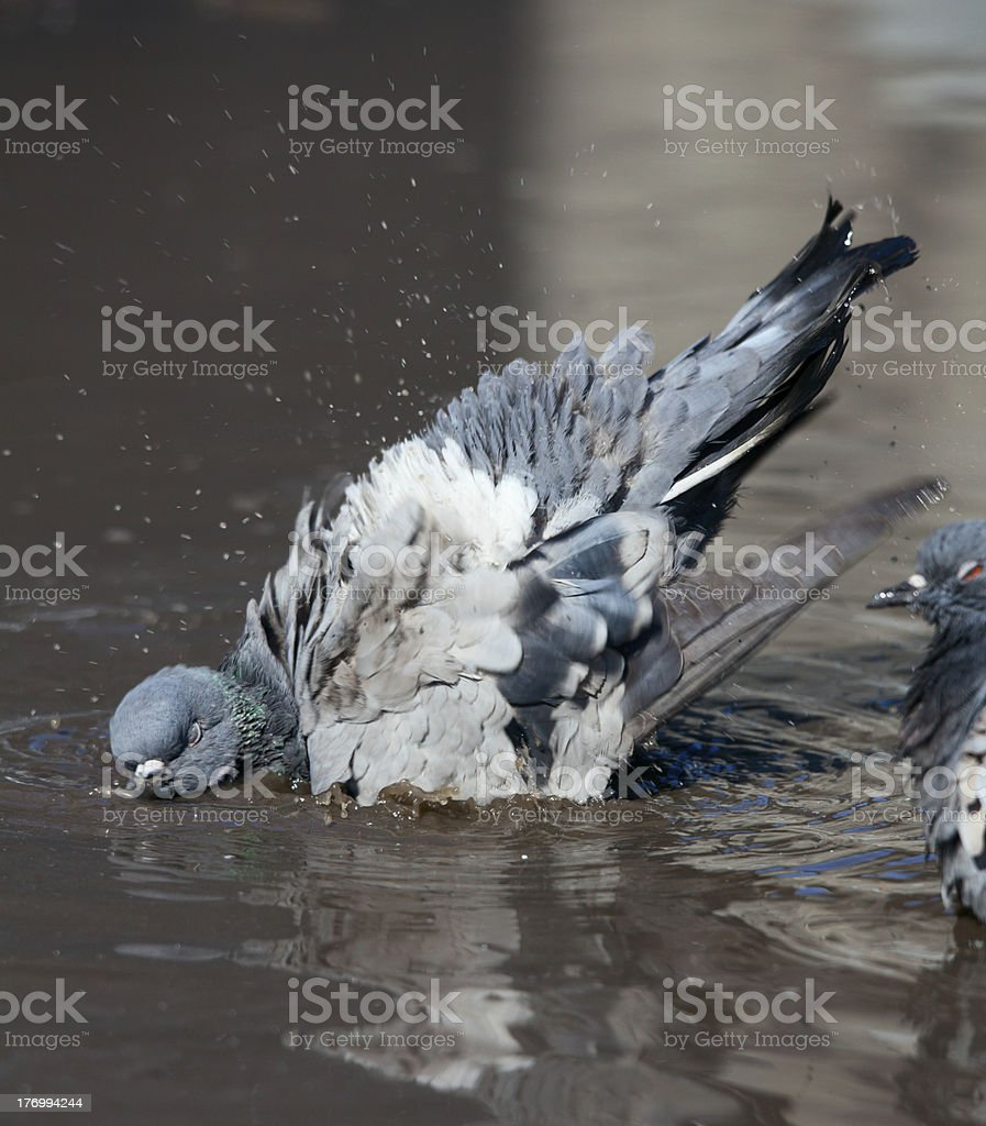 pigeon cleans its feathers royalty-free stock photo