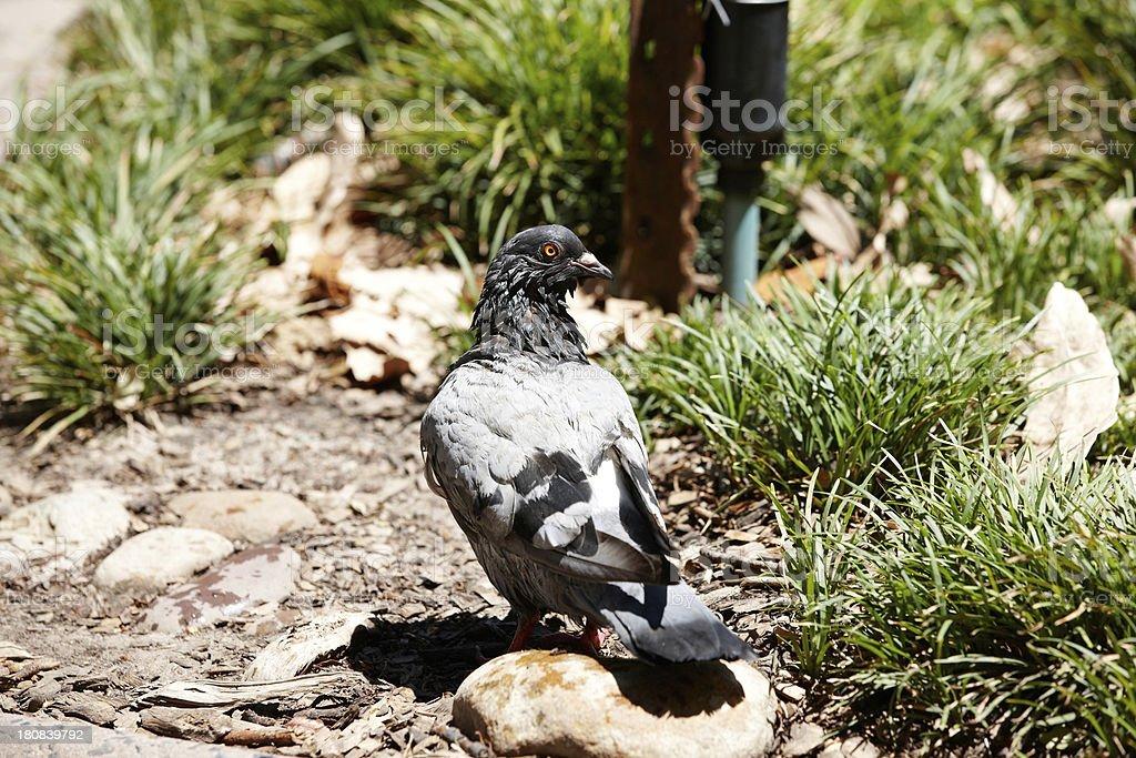 Pigeon close up stock photo