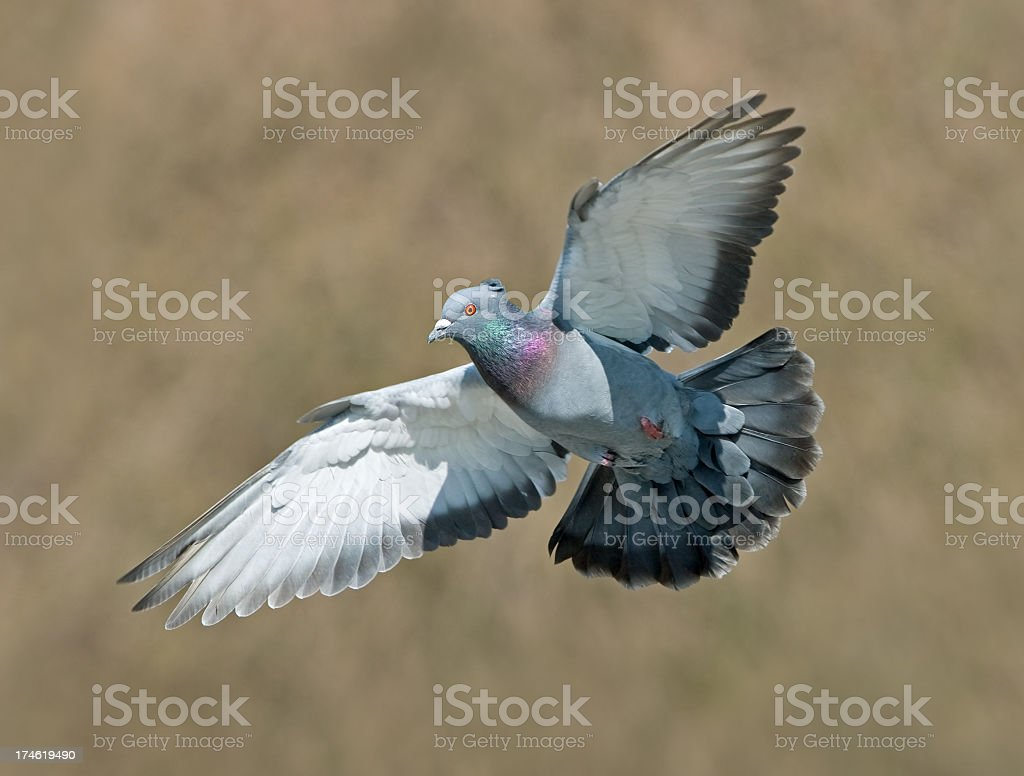 Pigeon coming in for a landing stock photo