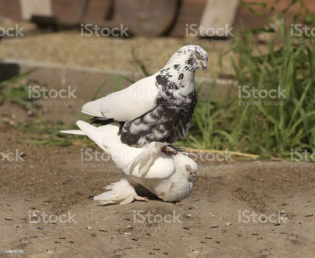 Pigeon copulation decorative white Doves royalty-free stock photo