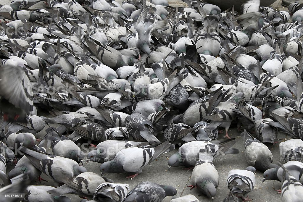 Pigeon crowd royalty-free stock photo