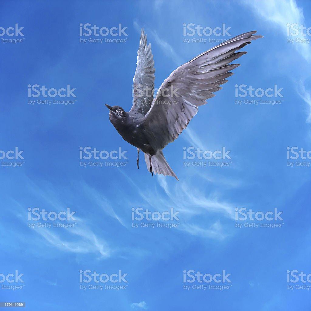 Pombo Pomba voar sobre o céu azul e nuvens, foto de stock royalty-free