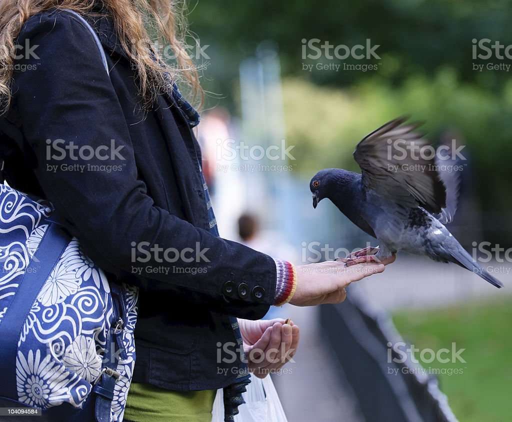 Pigeon feeding in park royalty-free stock photo