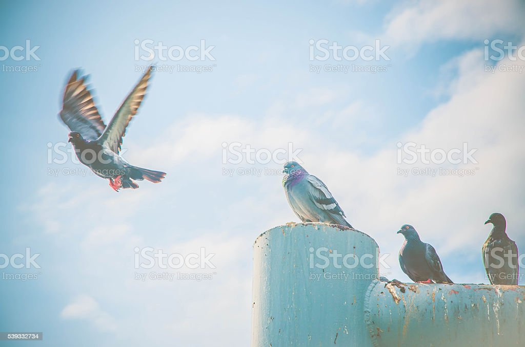 Pigeon flying colors retro scene blurred independently defocus stock photo