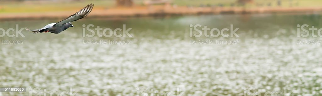 Pigeon flying, image suits for website header or banner stock photo