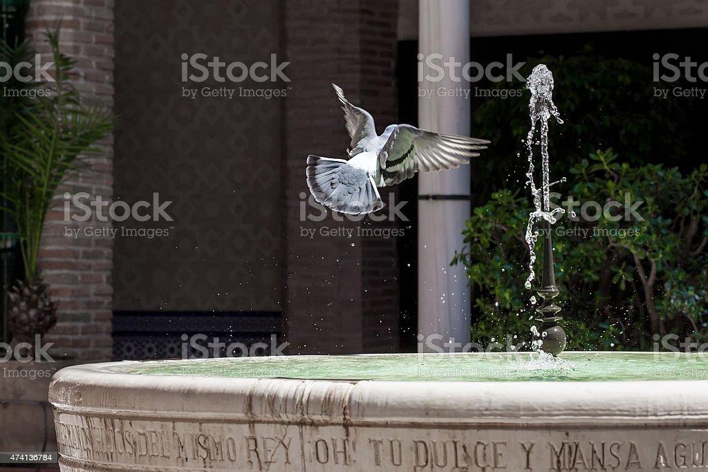 pigeon voando sobre uma fonte de água foto royalty-free