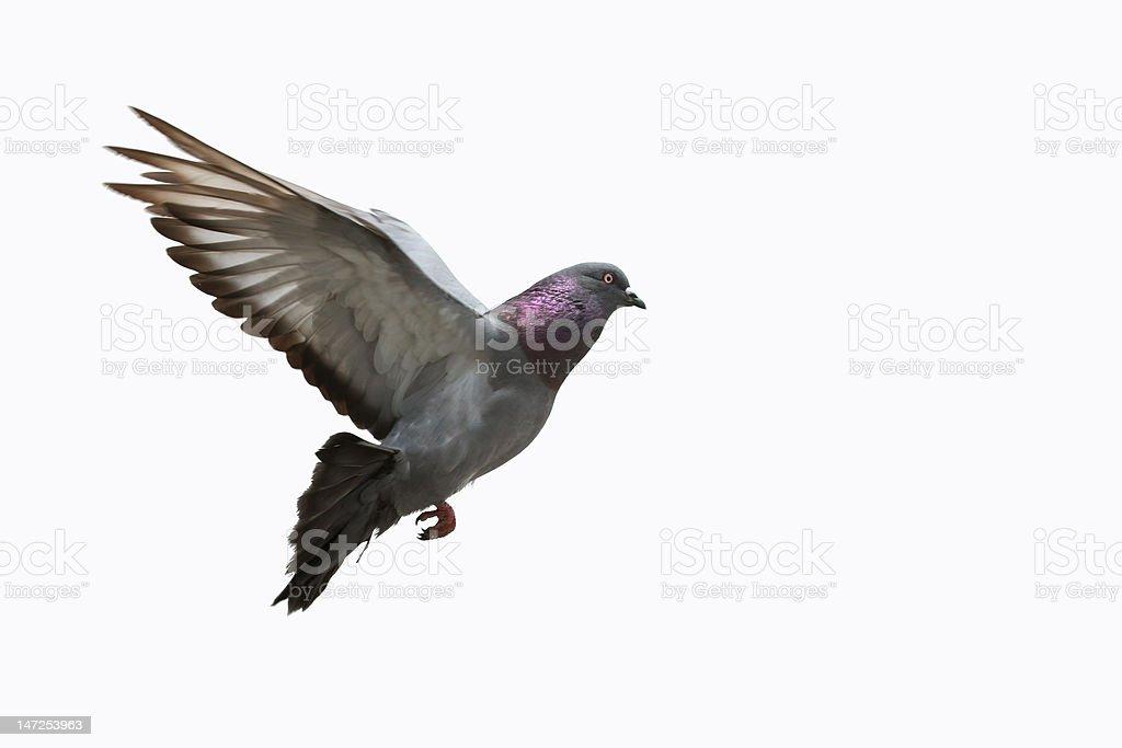 Pigeon flying stock photo