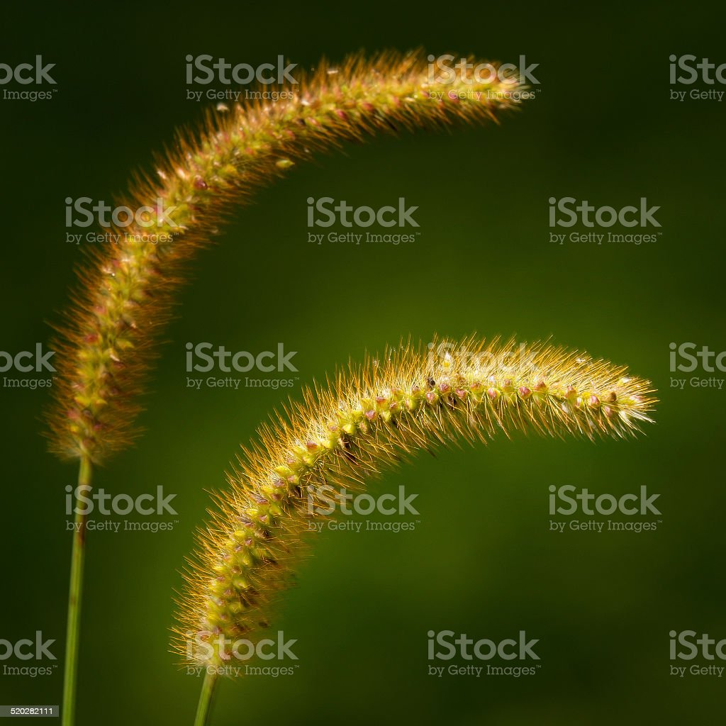 Pigeon Grass Seed Heads stock photo