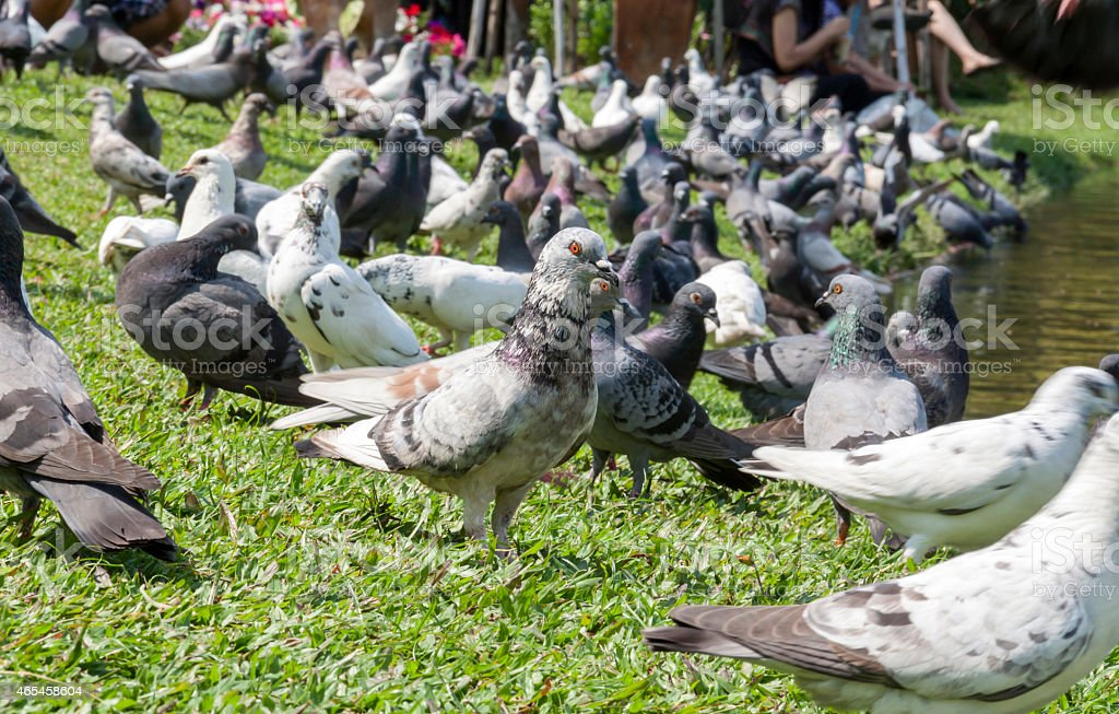 Pigeon group at the park royalty-free stock photo