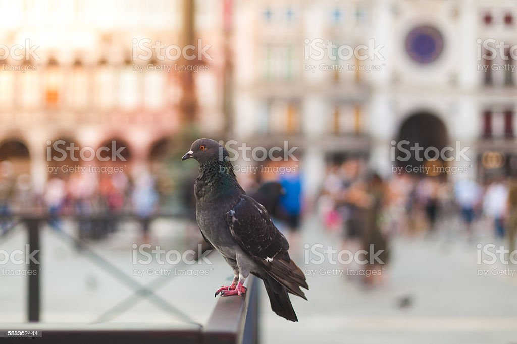 Pigeon in Italy, Piazza San Marco stock photo